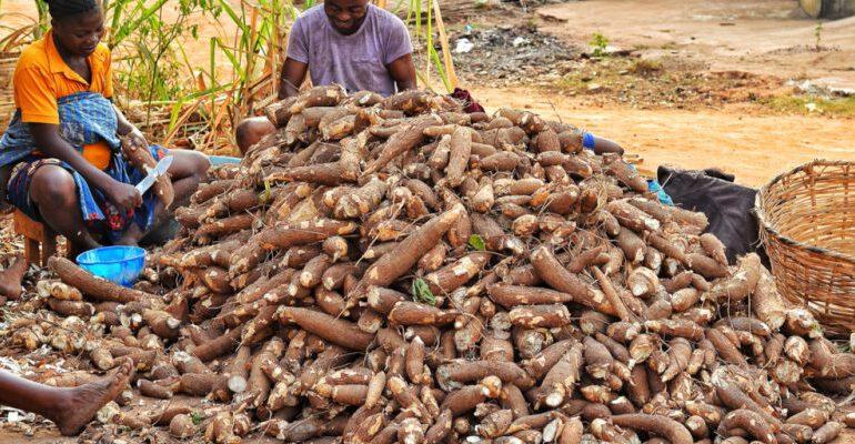 Nigéria : De l'électricité à partir du manioc